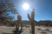 cactus-cardones